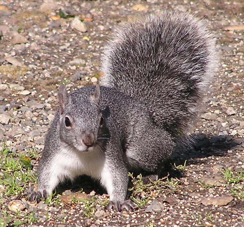 UW Resident Squirrels: Squirrels Of Washington State