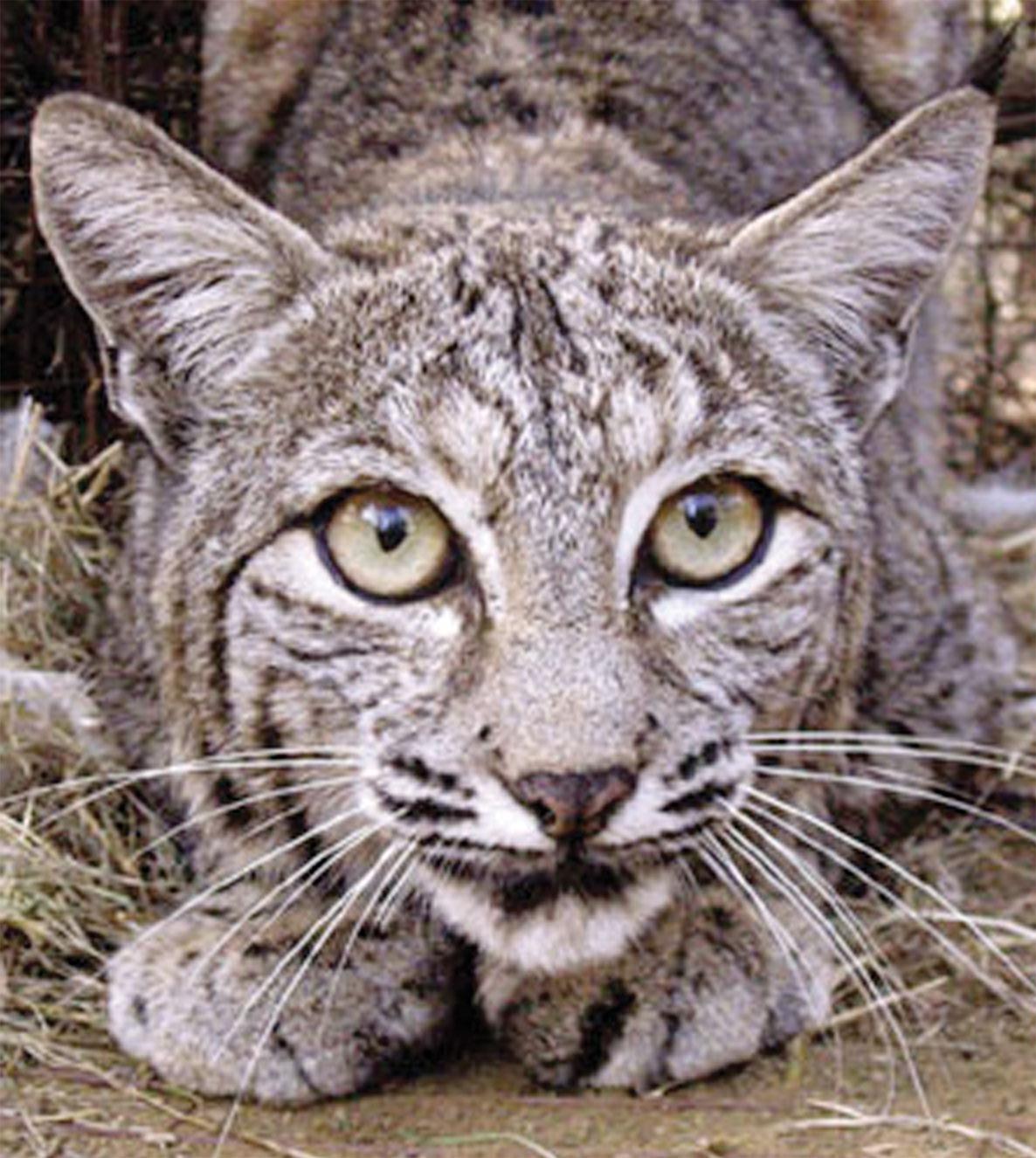 bobcat - photo #17