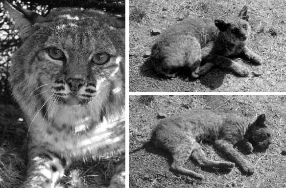 bobcats[3]