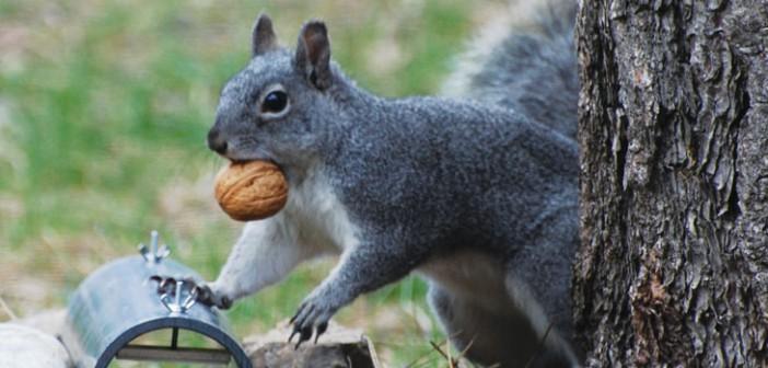 Western Gray Squirrel Genetics Study Begins