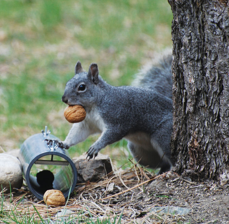 squirrel_walnut_tube