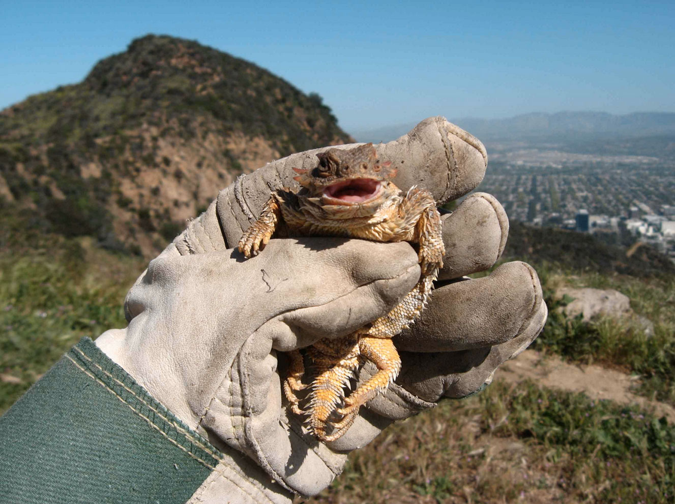 horned_toad