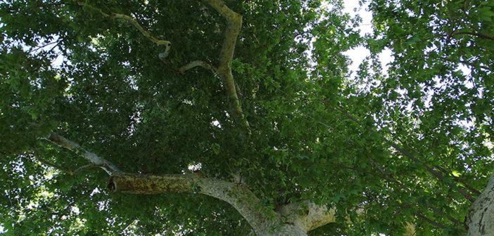 Native Trees Saved in Crystal Springs Ballfield Settlement