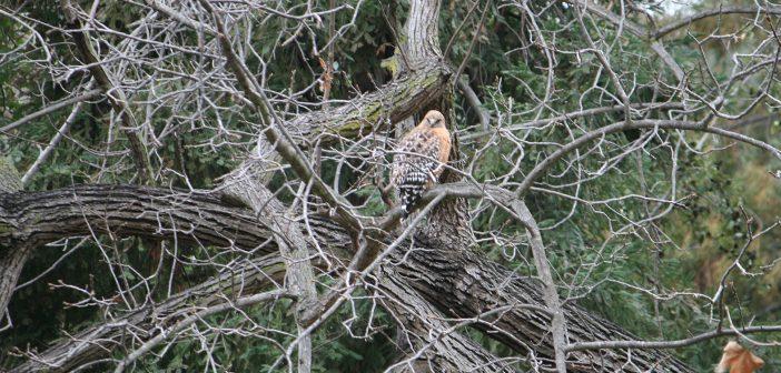 2017 Griffith Park Birds of Prey: Final Report