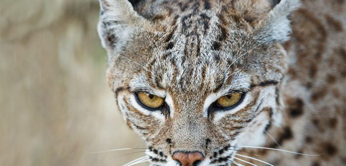 Anticoagulant Exposure in Bobcats Can Have Surprising Effects